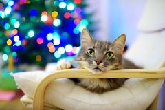 Cute gray cat sleeping in a chair on Christmas day. Spending time with family and pets on Christmas. Celebrating Xmas at home stock image