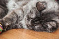 The cute gray cat Royalty Free Stock Photo