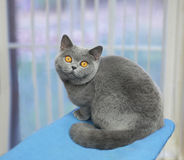 Cute gray cat. A gray purebreed cat with thick hair and large round orange eyes sitting near a window stock images