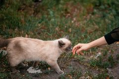 Cute gray cat walking to woman hand in park. wild beautiful cat. With blue eyes and girl hand trying to caress him. adoption concept Royalty Free Stock Photography