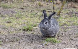 A cute gray chinchilla rabbit. A cute, gray chinchilla rabbit sits in a garden Royalty Free Stock Photo