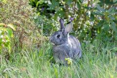 A cute, gray chinchilla rabbit. A cute, gray rabbit in a garden stock images