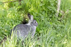 A cute gray chinchilla rabbit Royalty Free Stock Photography