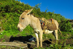 Cute gray donkey with saddle. Cute donkey standing in the field. Donkey with saddle Royalty Free Stock Image