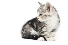 Cute gray kitten Royalty Free Stock Photos