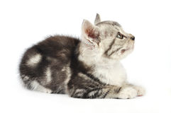 Cute gray kitten Stock Images