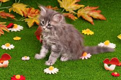 Cute gray kitten Stock Photos