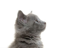 Cute gray kitten Stock Image