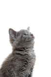 Cute gray kitten Royalty Free Stock Images