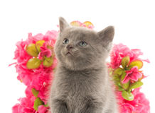 Cute gray kitten Royalty Free Stock Photography