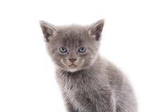 Cute gray kitten Stock Photo
