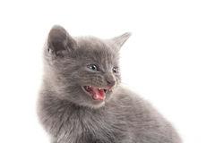 Cute gray kitten Royalty Free Stock Image