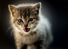 Cute gray kitten close up photo with emotion.