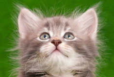 Cute gray kitten. Close-up portrait of cute gray kitten on artificial green grass background Royalty Free Stock Photos