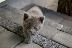 Cute Gray kitten creeping, looking straight into eyes Stock Photo