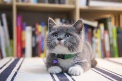The cute gray kitten Royalty Free Stock Photo