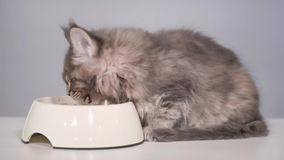 Maine coon kitten. Cute gray kitten feeding from bowl at kitchen. Healthy food for young Maine coon cat - 2 months old. Adorable kitty eating his breakfast stock footage