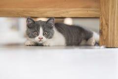 The cute gray kitten Royalty Free Stock Photos