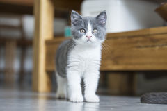The cute gray kitten Stock Image