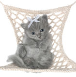Cute gray kitten in hammock top view Royalty Free Stock Images