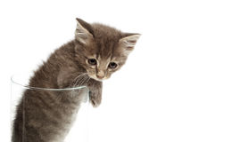 Cute gray kitten in a jar. Doing out of jar Royalty Free Stock Image