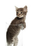 Cute gray kitten in a jar. Stand up Royalty Free Stock Photography