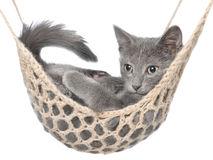 Cute gray kitten lay in hammock Royalty Free Stock Image