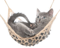 Cute gray kitten lay in hammock Stock Photography