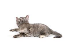 Cute gray kitten laying down Stock Photo