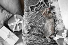 A cute gray kitten lies on a gray plaid in a Christmas decoration stock photos