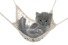 Cute gray kitten lying in hammock Stock Images