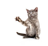 Cute gray kitten playing Royalty Free Stock Photography