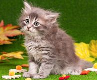 Cute gray kitten Royalty Free Stock Photos