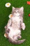 Cute gray kitten playing Royalty Free Stock Photos
