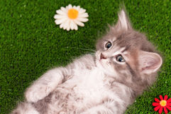 Cute gray kitten Stock Image