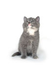 Cute gray kitten sitting and playing Stock Photos