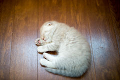 Cute gray kitten sleeping on floor. Cute gray kitten sleeping on the floor Royalty Free Stock Photos