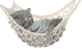 Cute gray kitten sleeping in hammock