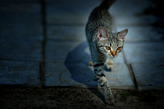 Cute gray kitten sneaks at night Royalty Free Stock Photography