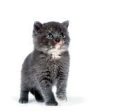 Cute gray kitten standing Stock Photography