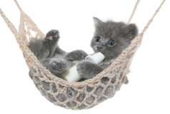 Cute gray kitten sucks milk bottle in a hammock