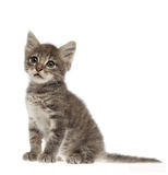 Cute gray kitten on white background. Looking your eyes Stock Image