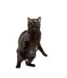 Cute gray kitten on white Royalty Free Stock Photo