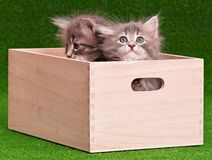 Cute gray kittens Royalty Free Stock Images