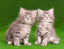 Cute gray kittens Stock Photos