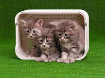 Cute gray kittens Stock Images