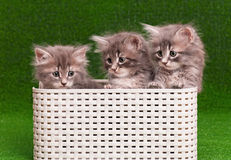 Cute gray kittens Royalty Free Stock Photo