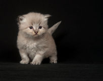 Cute gray long hair kitten on black Stock Photos