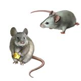 Cute gray mouse holding cheese on white background Stock Images