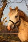 Cute gray pony portrait in the paddock Royalty Free Stock Photo